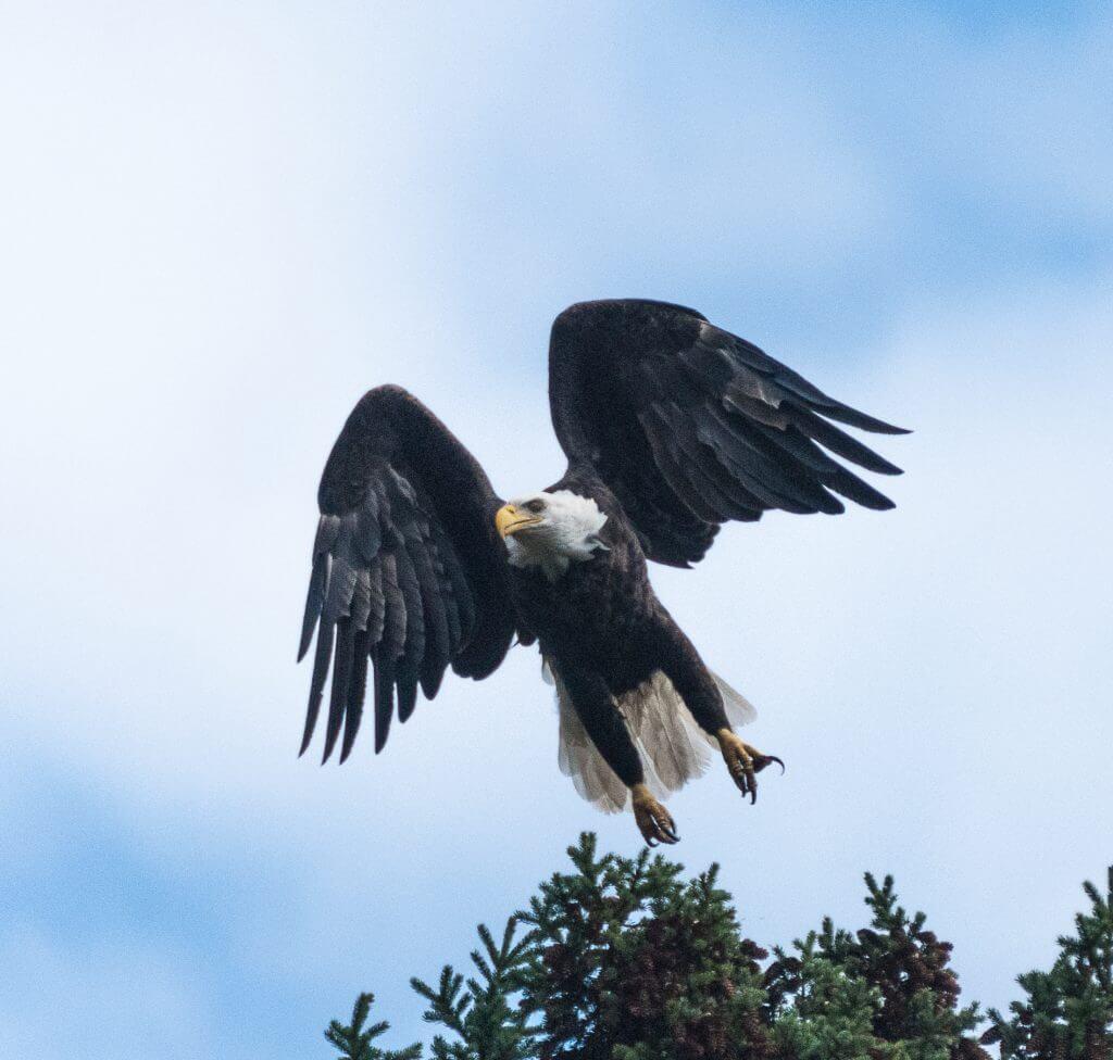 Lake Superior Circle Tour Wildlife - Bald Eagle