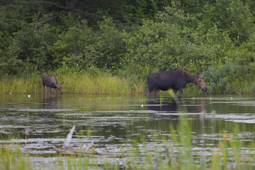 Lake Superior Circle Tour Wildlife - Moose