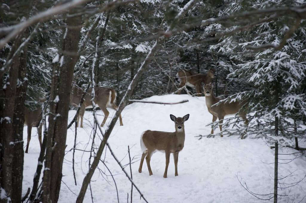 Lake Superior Circle Tour Wildlife - Deer
