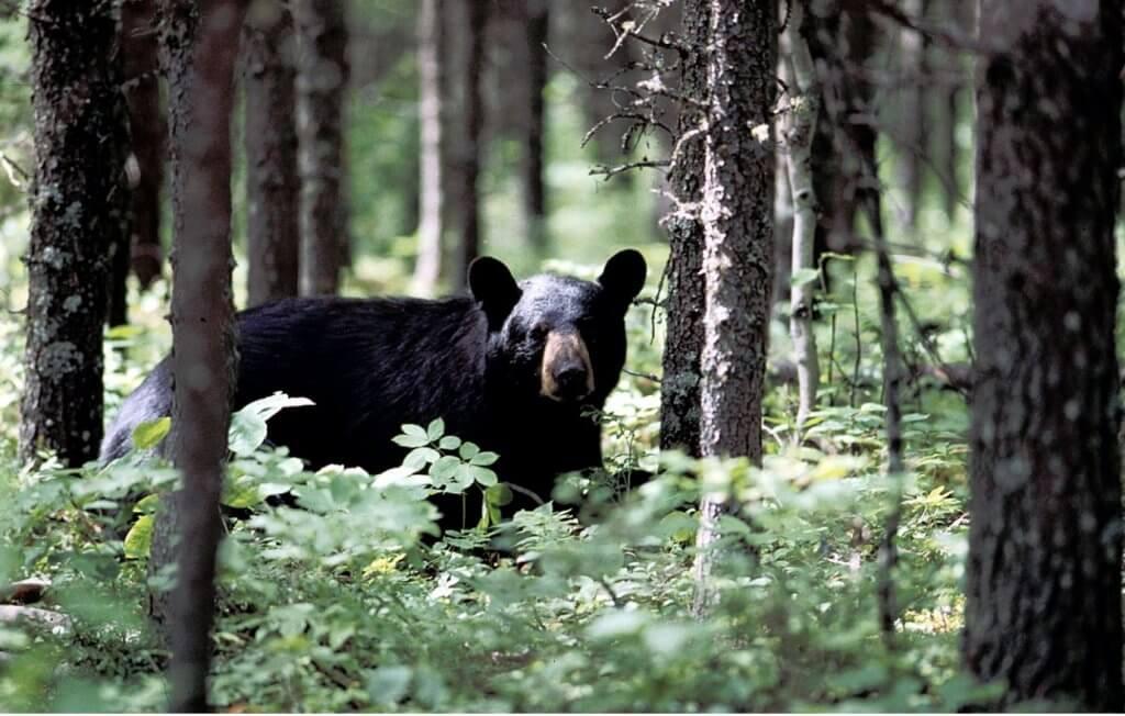 Lake Superior Circle Tour Wildlife - Bear
