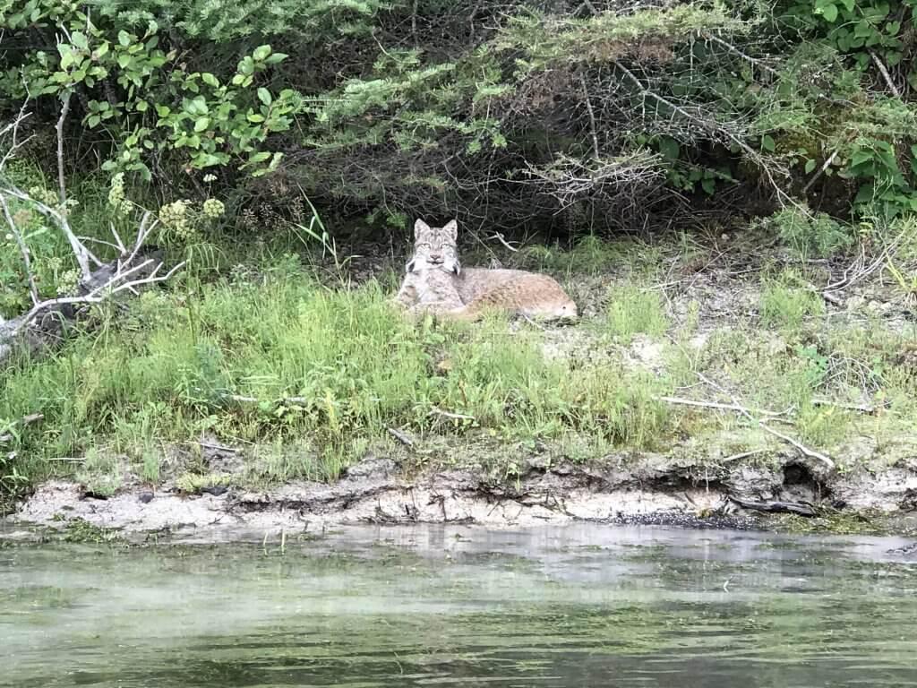 Lake Superior Circle Tour Wildlife - Lynx