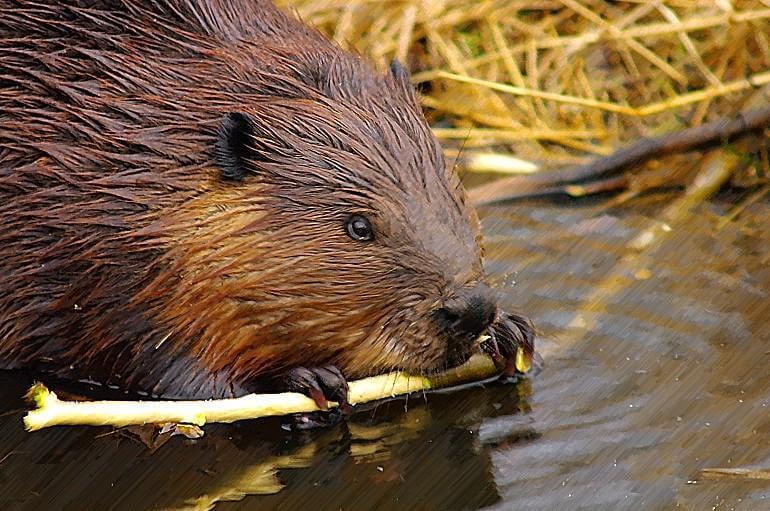 Lake Superior Circle Tour Wildlife - Beaver