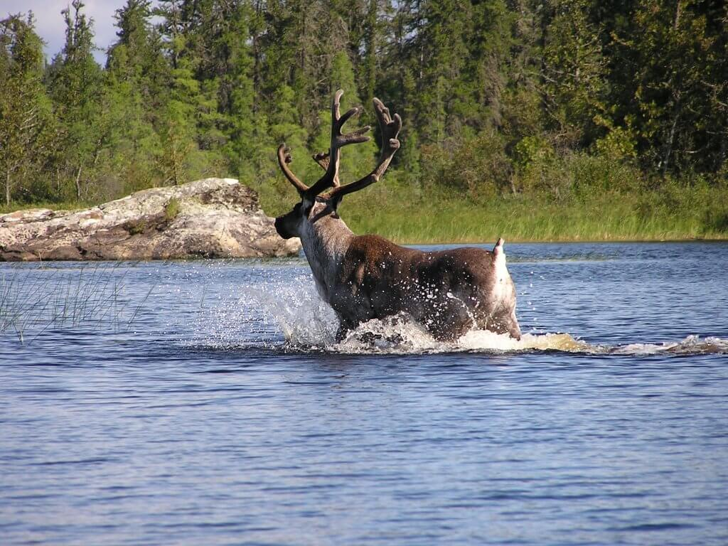 Lake Superior Circle Tour Wildlife - Woodland Caribou