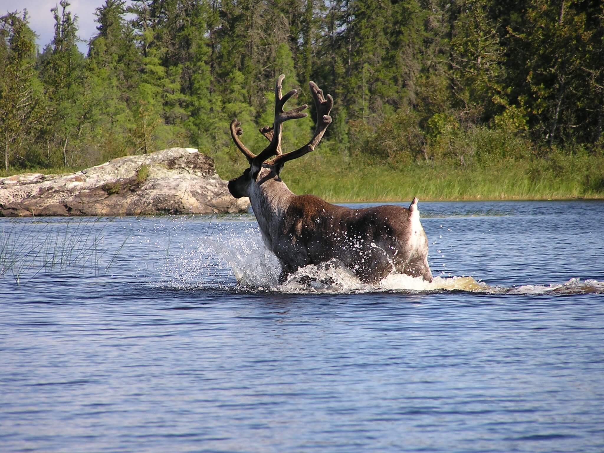 Wabakimi Caribou