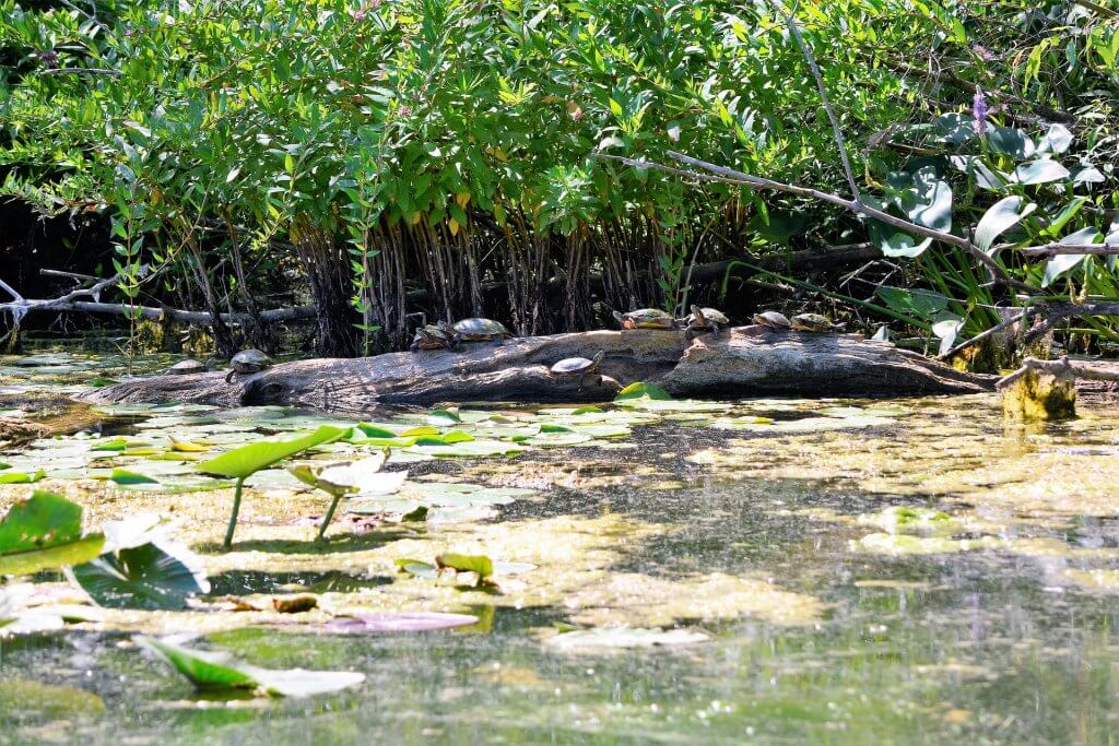 Lake Superior Circle Tour Wildlife - Western Painted Turtle