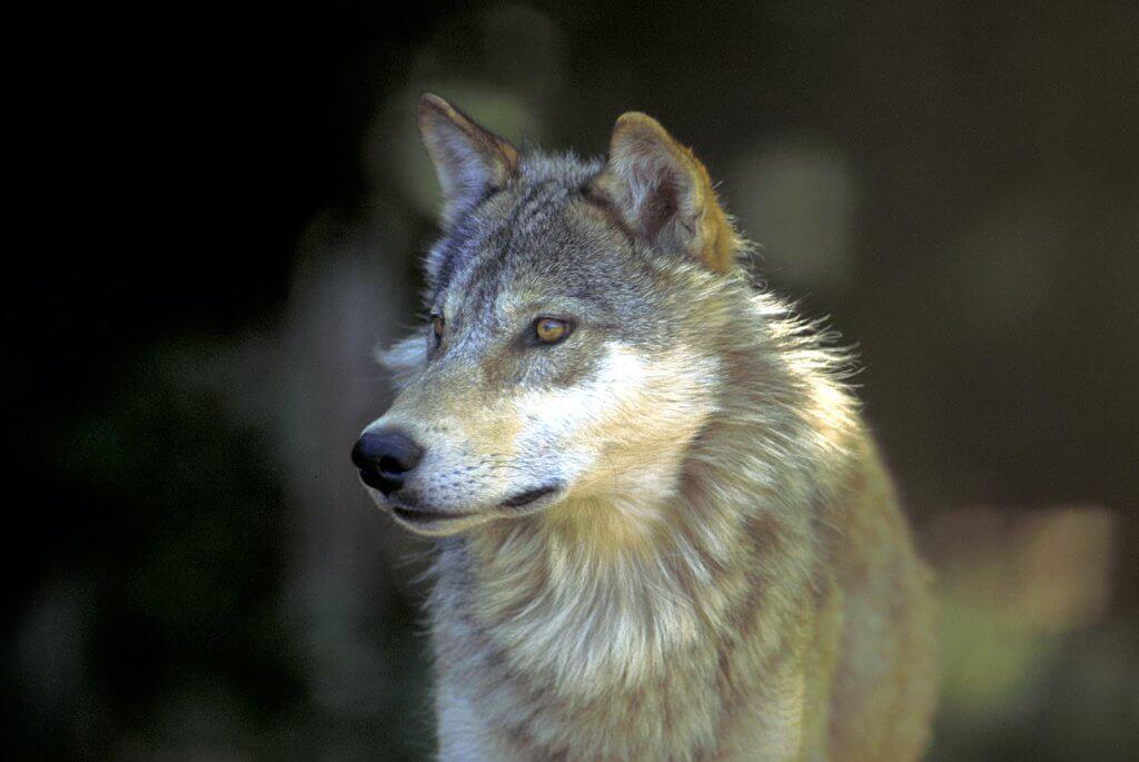 Lake Superior Circle Tour Wild Life - Wolf